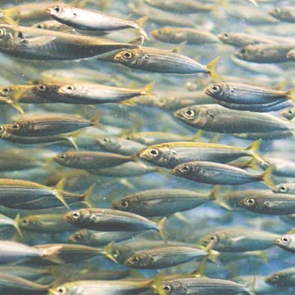 El viaje de la sardina